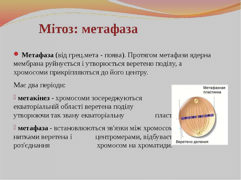 Метафаза (від грец.мета - поява). Протягом метафази ядерна мембрана руйнуєтьс...