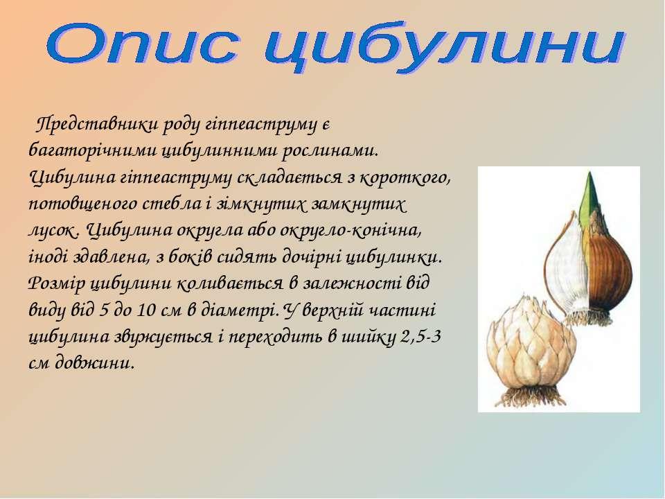 Представники роду гіппеаструму є багаторічними цибулинними рослинами. Цибулин...