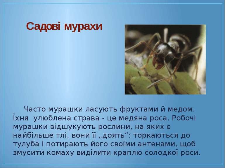 Часто мурашки ласують фруктами й медом. Їхня улюблена страва - це медяна роса...