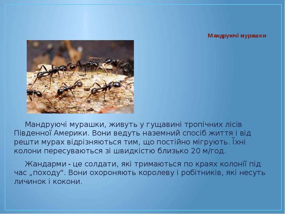 Мандруючі мурашки, живуть у гущавині тропічних лісів Південної Америки. Вони ...