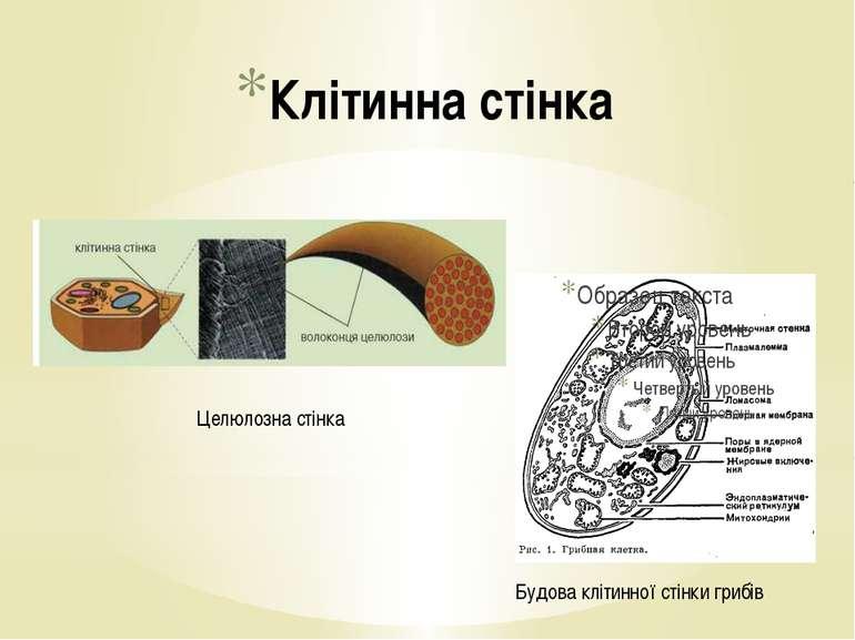 Будова клітинної стінки грибів Клітинна стінка Целюлозна стінка