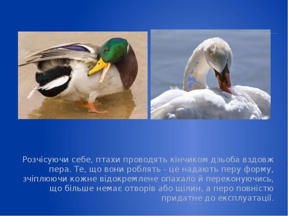 Розчісуючи себе, птахи проводять кінчиком дзьоба вздовж пера. Те, що вони роб...