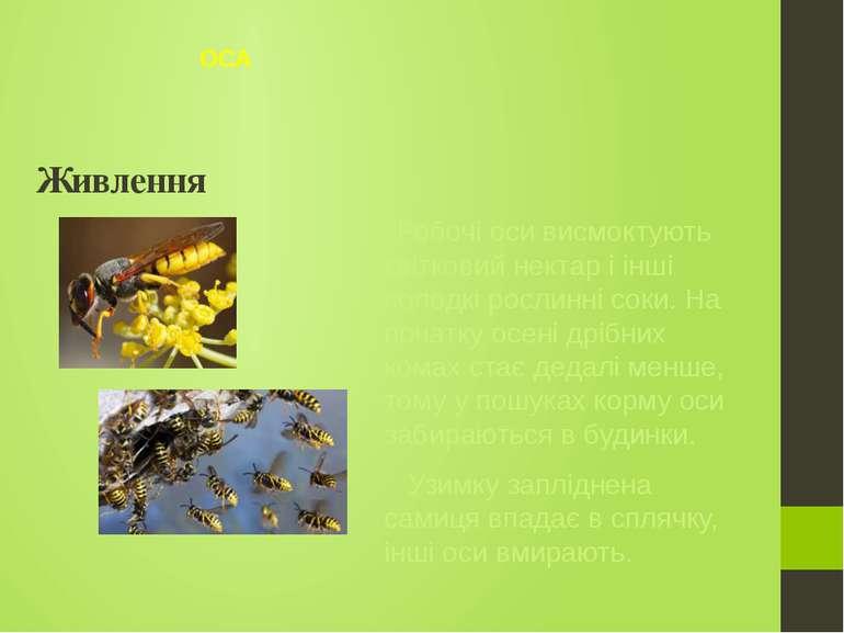 Робочі оси висмоктують квітковий нектар і інші солодкі рослинні соки. На поча...