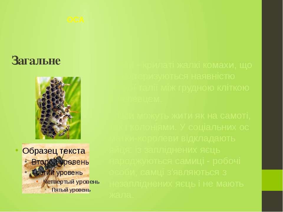 Оси - крилаті жалкі комахи, що характеризуються наявністю тонкої талії між гр...
