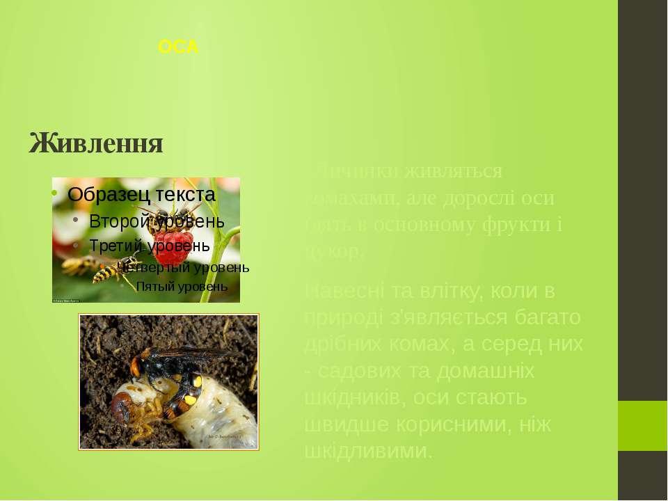 Личинки живляться комахами, але дорослі оси їдять в основному фрукти і цукор....