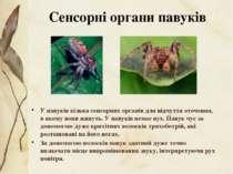 У павуків кілька сенсорних органів для відчуття оточення, в якому вони живуть...