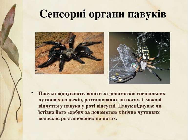 Павуки відчувають запахи за допомогою спеціальних чутливих волосків, розташов...