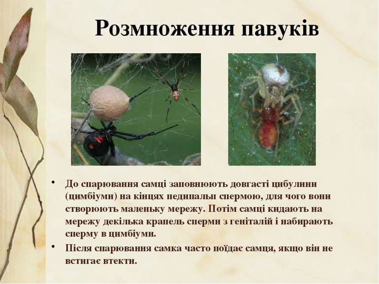 До спарювання самці заповнюють довгасті цибулини (цимбіуми) на кінцях педипал...