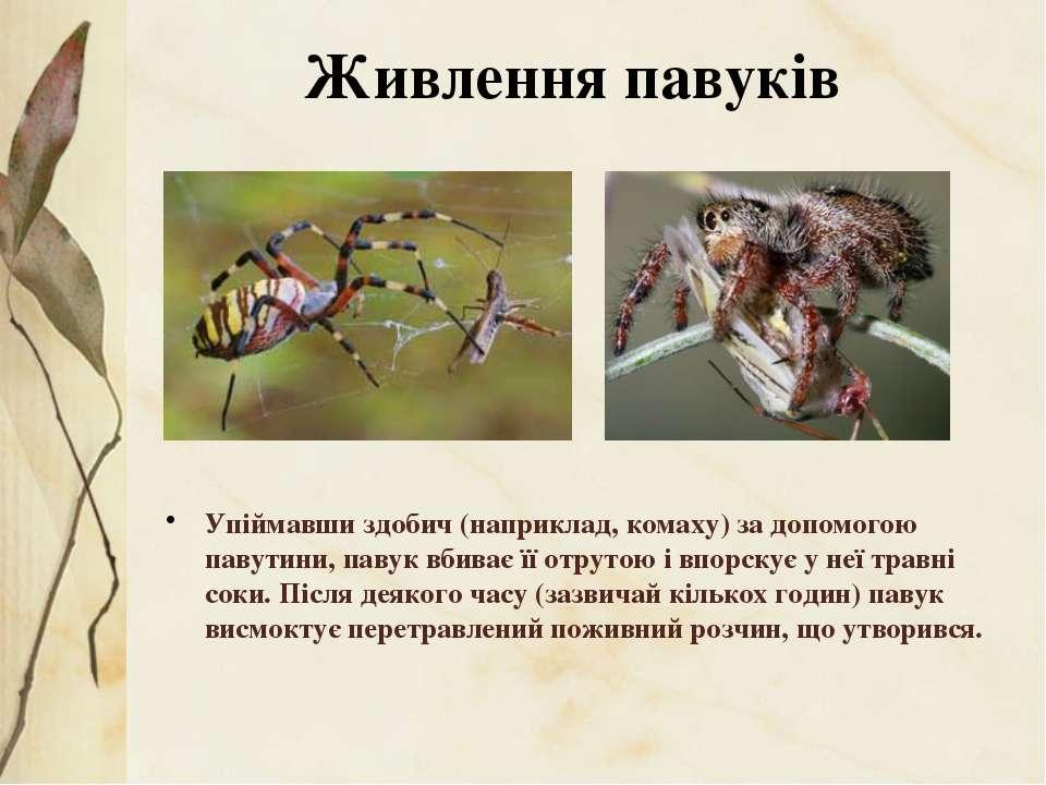 Упіймавши здобич (наприклад, комаху) за допомогою павутини, павук вбиває її о...