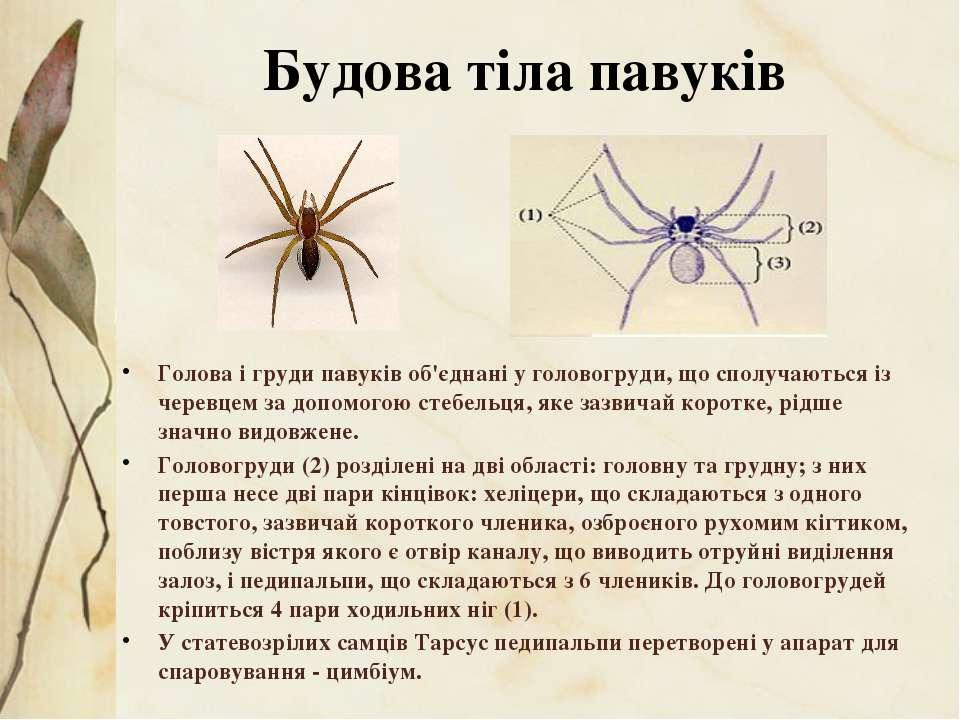 Голова і груди павуків об'єднані у головогруди, що сполучаються із черевцем з...