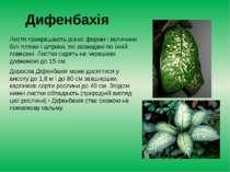 Дифенбахія Листя прикрашають різної форми і величини білі плями і штрихи, які...