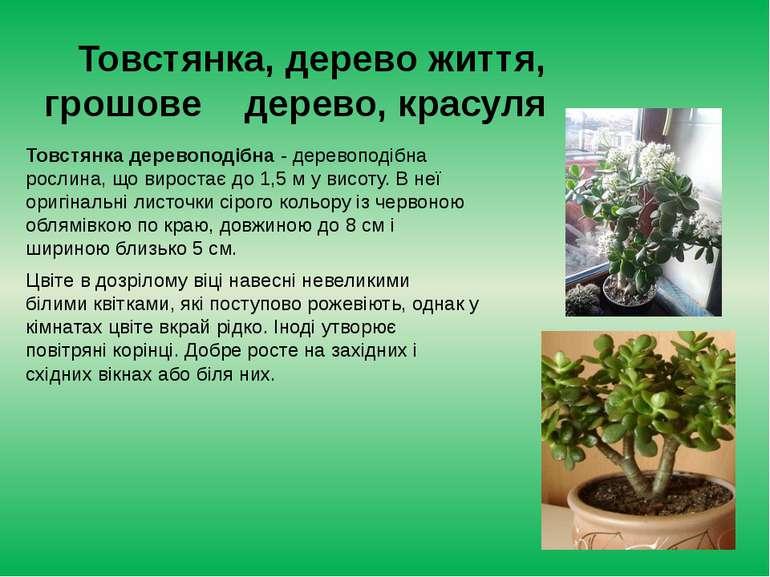 Товстянка, дерево життя, грошове дерево, красуля Товстянка деревоподібна - де...