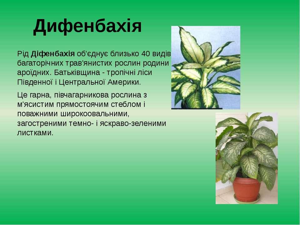 Дифенбахія РідДіфенбахія об'єднує близько 40 видів багаторічних трав'янистих...