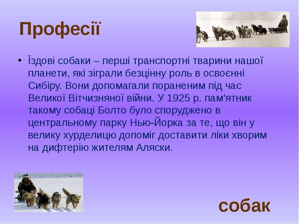 Їздові собаки – перші транспортні тварини нашої планети, які зіграли безцінну...