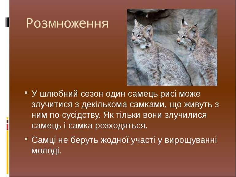 Розмноження У шлюбний сезон один самець рисі може злучитися з декількома самк...