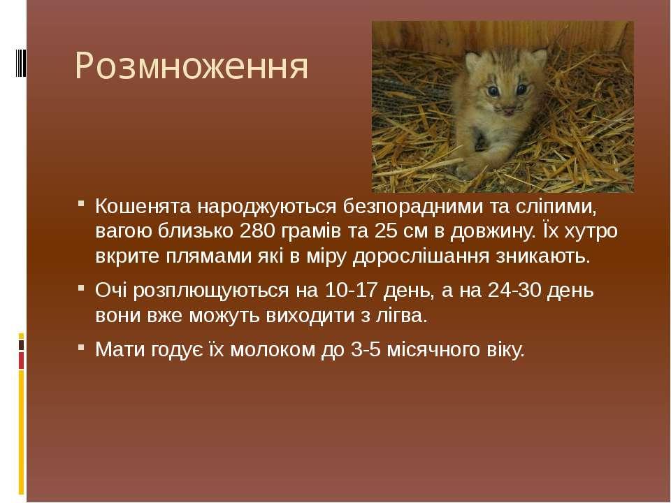 Розмноження Кошенята народжуються безпорадними та сліпими, вагою близько 280 ...