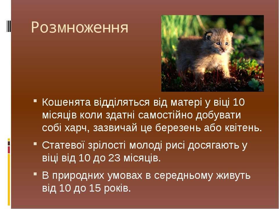 Розмноження Кошенята відділяться від матері у віці 10 місяців коли здатні сам...