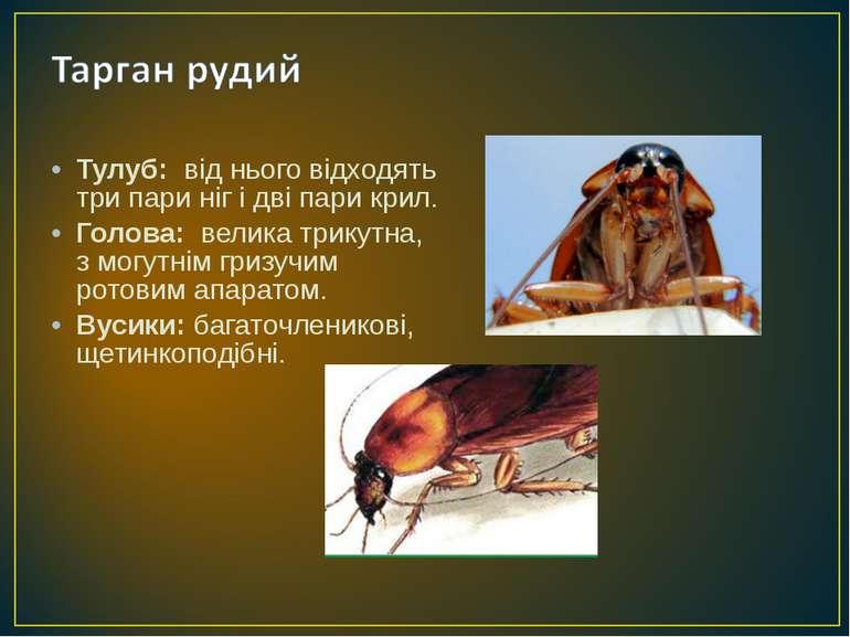 Тулуб: від нього відходять три пари ніг і дві пари крил. Голова: велика трику...