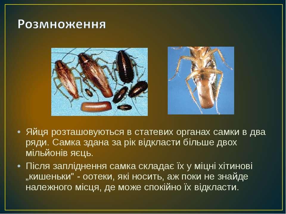 Яйця розташовуються в статевих органах самки в два ряди. Самка здана за рік в...