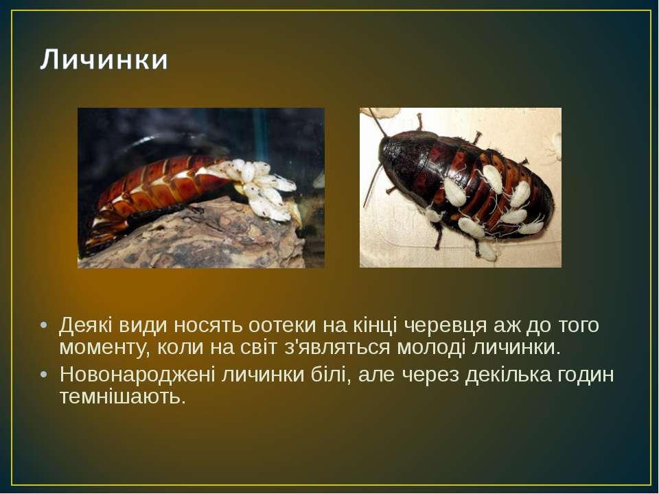 Деякі види носять оотеки на кінці черевця аж до того моменту, коли на світ з'...