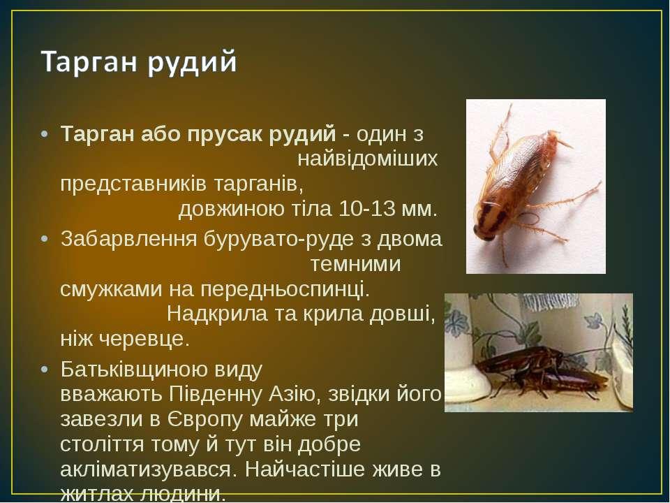 Тарган або прусак рудий - один з найвідоміших представниківтарганів, довжино...
