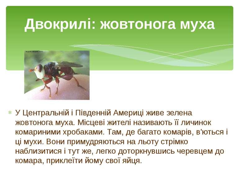 У Центральній і Південній Америці живе зелена жовтонога муха. Місцеві жителі ...