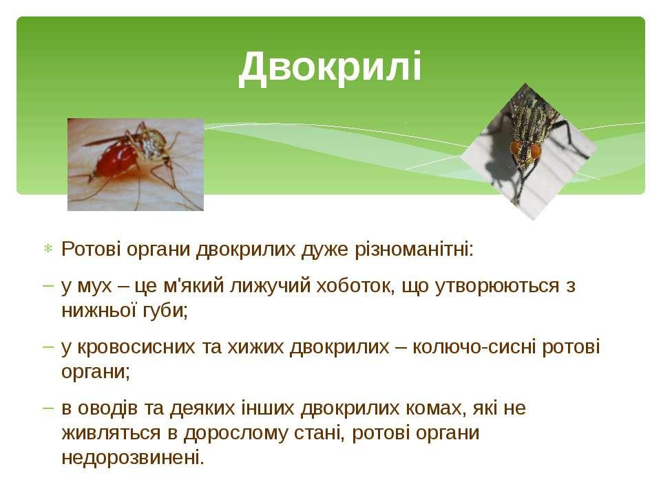 Ротові органи двокрилих дуже різноманітні: у мух – це м'який лижучий хоботок,...