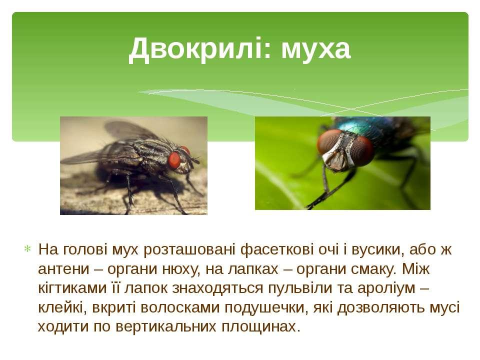 На голові мух розташовані фасеткові очі і вусики, або ж антени – органи нюху,...