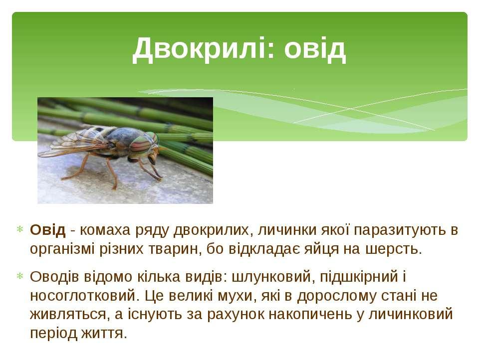 Овід- комаха рядудвокрилих, личинки якої паразитують в організмі різних тва...