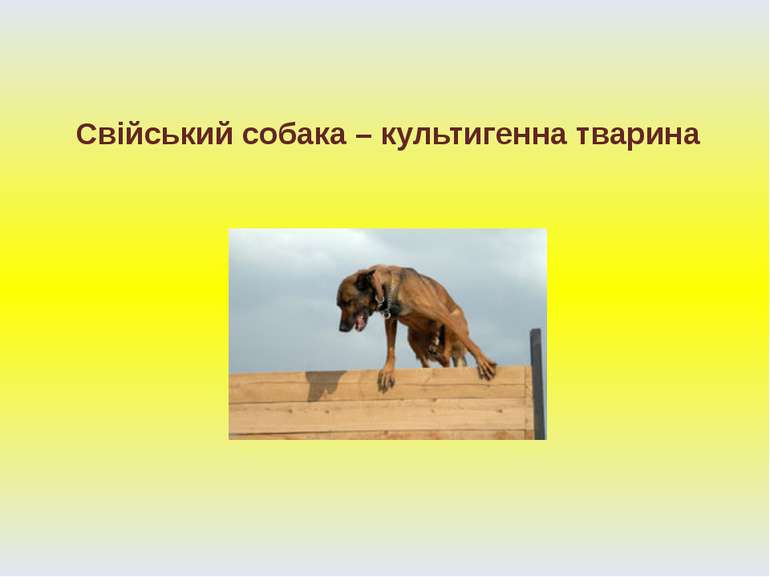 Свійський собака – культигенна тварина