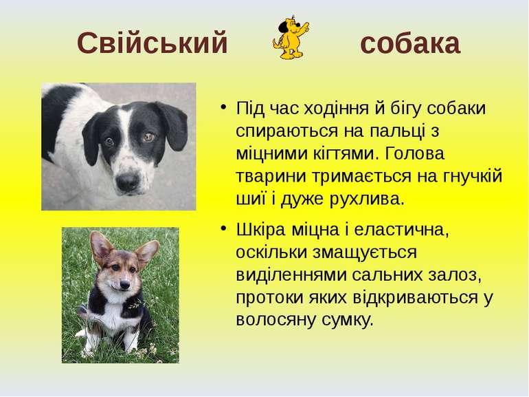 Під час ходіння й бігу собаки спираються на пальці з міцними кігтями. Голова ...