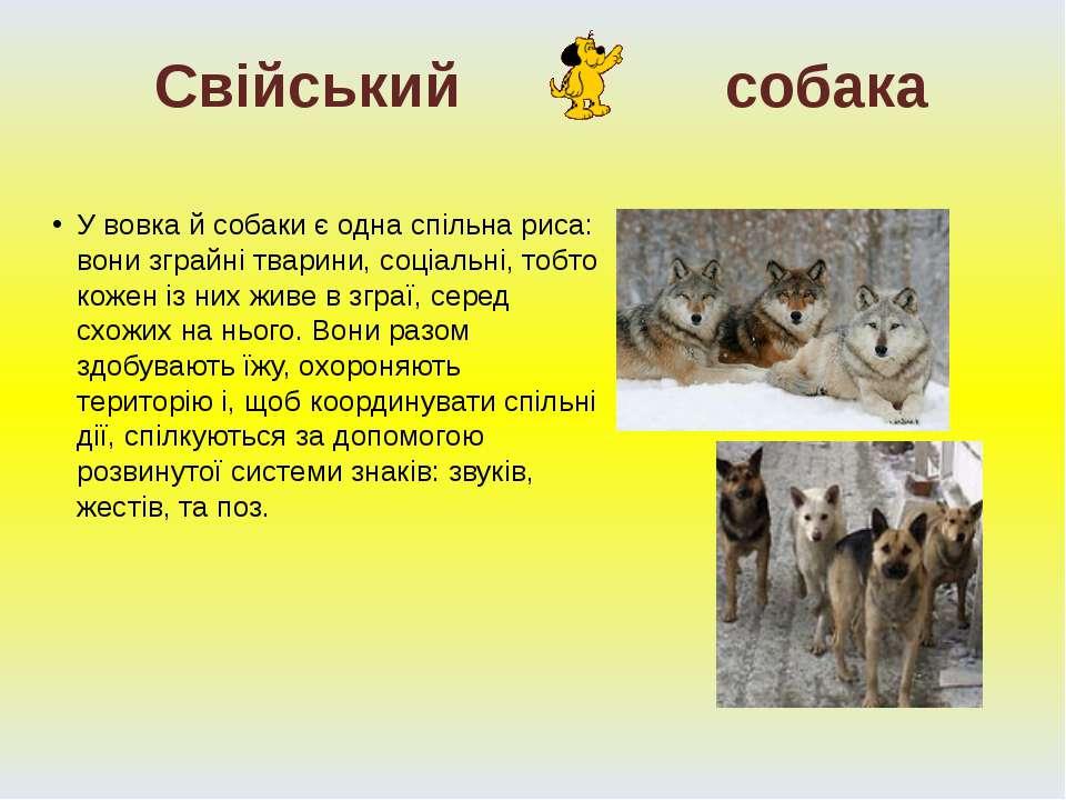 У вовка й собаки є одна спільна риса: вони зграйні тварини, соціальні, тобто ...