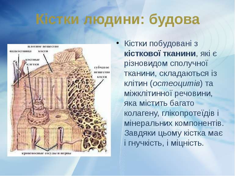 Кістки побудовані з кісткової тканини, які є різновидом сполучної тканини, ск...