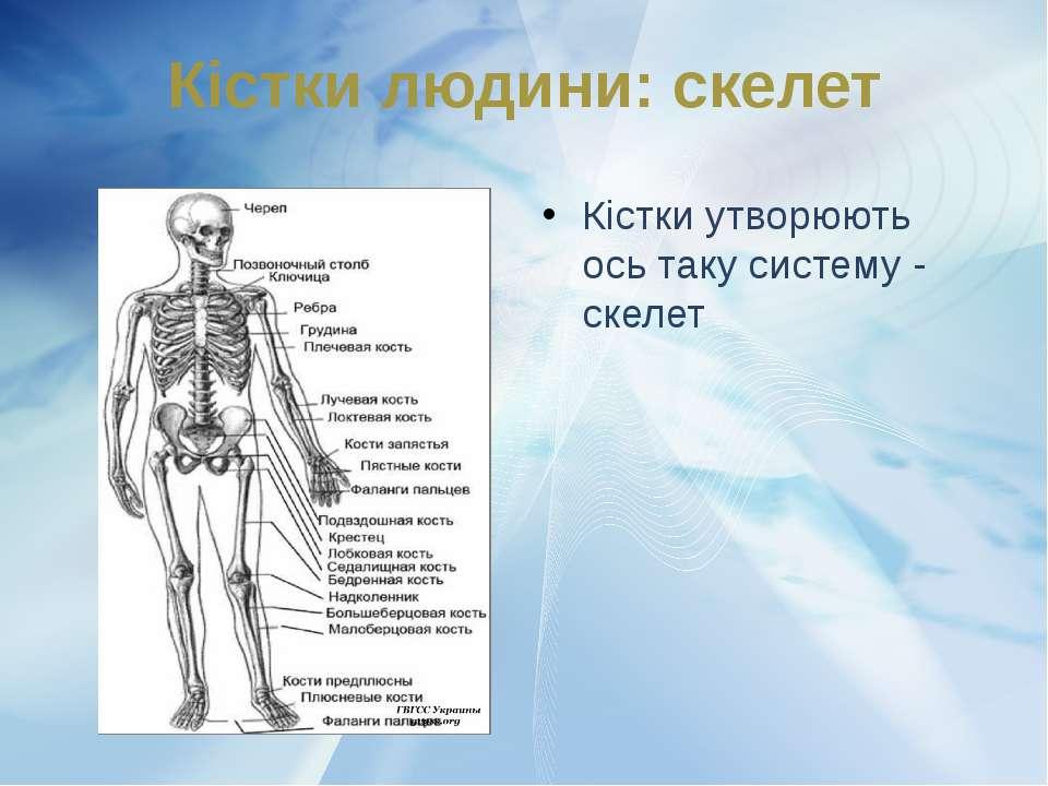 Кістки утворюють ось таку систему - скелет Кістки людини: скелет