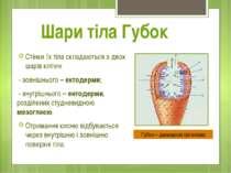 Стінки їх тіла складаються з двох шарів клітин: - зовнішнього – ектодерми; - ...
