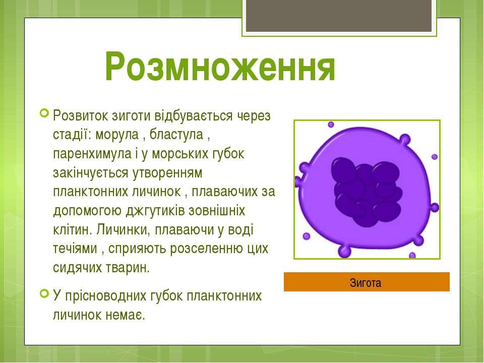 Розвиток зиготи відбувається через стадії: морула , бластула , паренхимула і ...