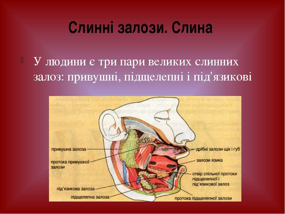 У людини є три пари великих слинних залоз: привушні, підщелепні і під'язикові...