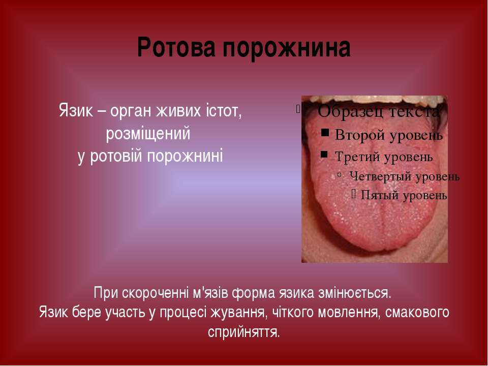При скороченні м'язів форма язика змінюється. Язик бере участь у процесі жува...