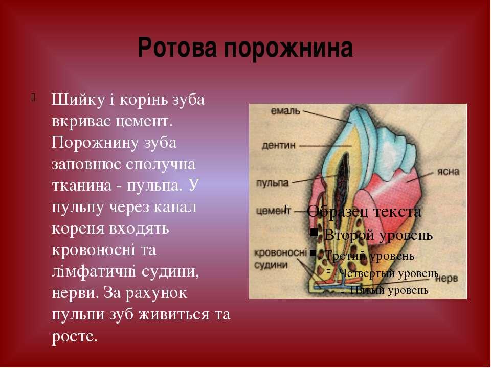 Шийку і корінь зуба вкриває цемент. Порожнину зуба заповнює сполучна тканина ...