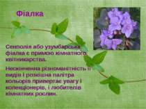 Сенполія або узумбарська фіалка є примою кімнатного квітникарства. Нескінченн...