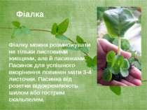 Фіалку можна розмножувати не тільки листовими живцями, але й пасинками. Пасин...