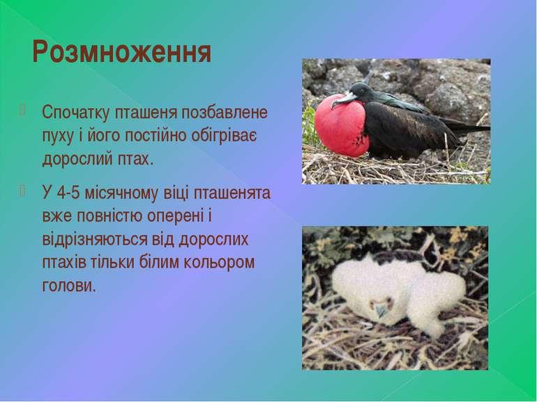 Розмноження Спочатку пташеня позбавлене пуху і його постійно обігріває доросл...