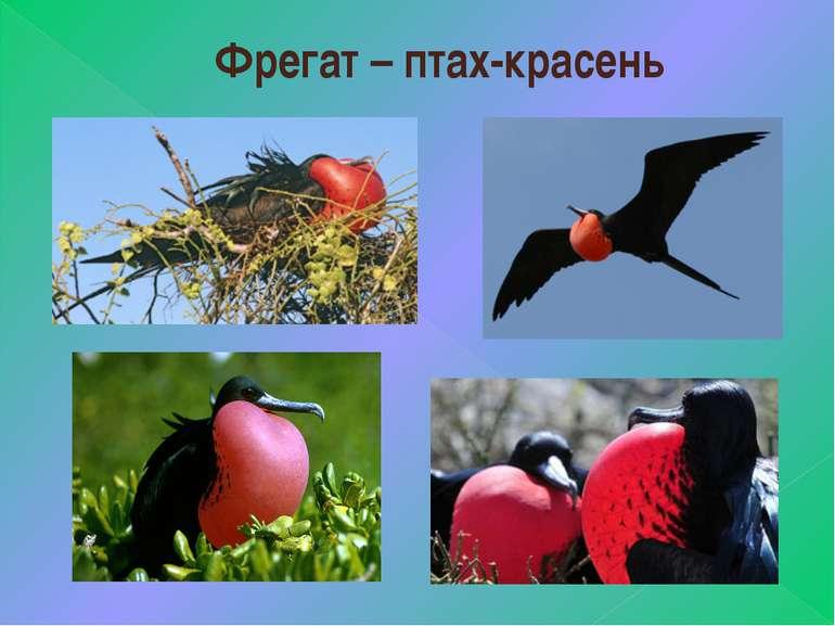 Фрегат – птах-красень