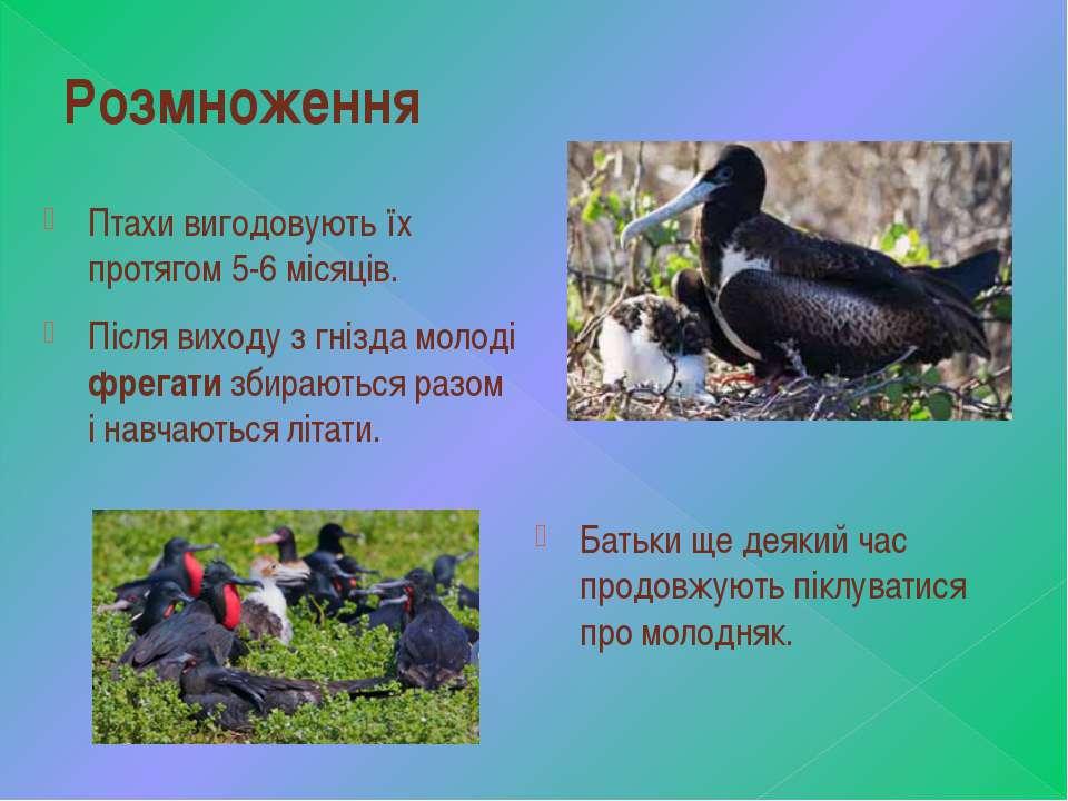 Розмноження Птахи вигодовують їх протягом 5-6 місяців. Після виходу з гнізда ...