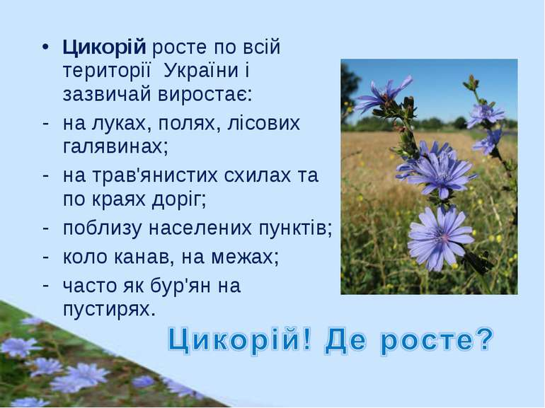 Цикорій росте по всій території України і зазвичай виростає: налуках, полях,...