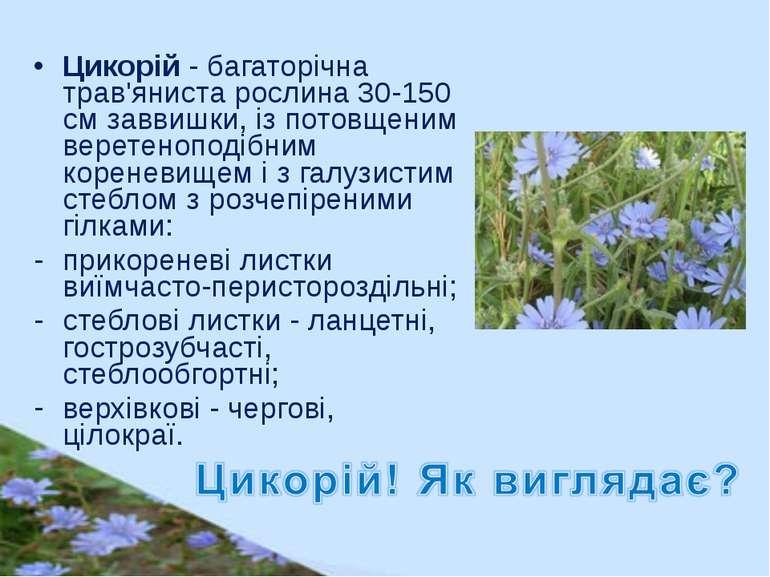 Цикорій - багаторічна трав'яниста рослина 30-150 см заввишки, із потовщеним в...