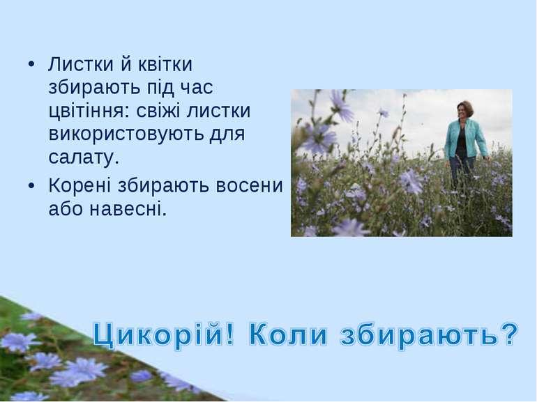 Листки й квітки збирають під час цвітіння: свіжі листки використовують для са...