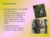 Блакитнасорока -це типовий птах відкритих лісовихландшафтів,часто зустріч...