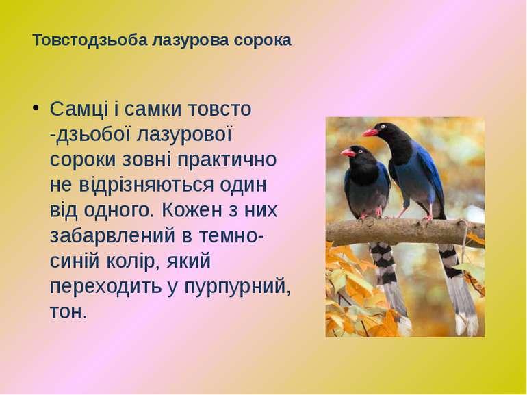 Самці і самки товсто -дзьобої лазурової сороки зовні практично не відрізняють...