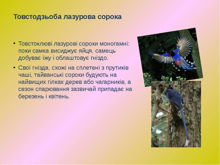 Товстоклюві лазурові сороки моногамні: поки самка висиджує яйця, самець добув...
